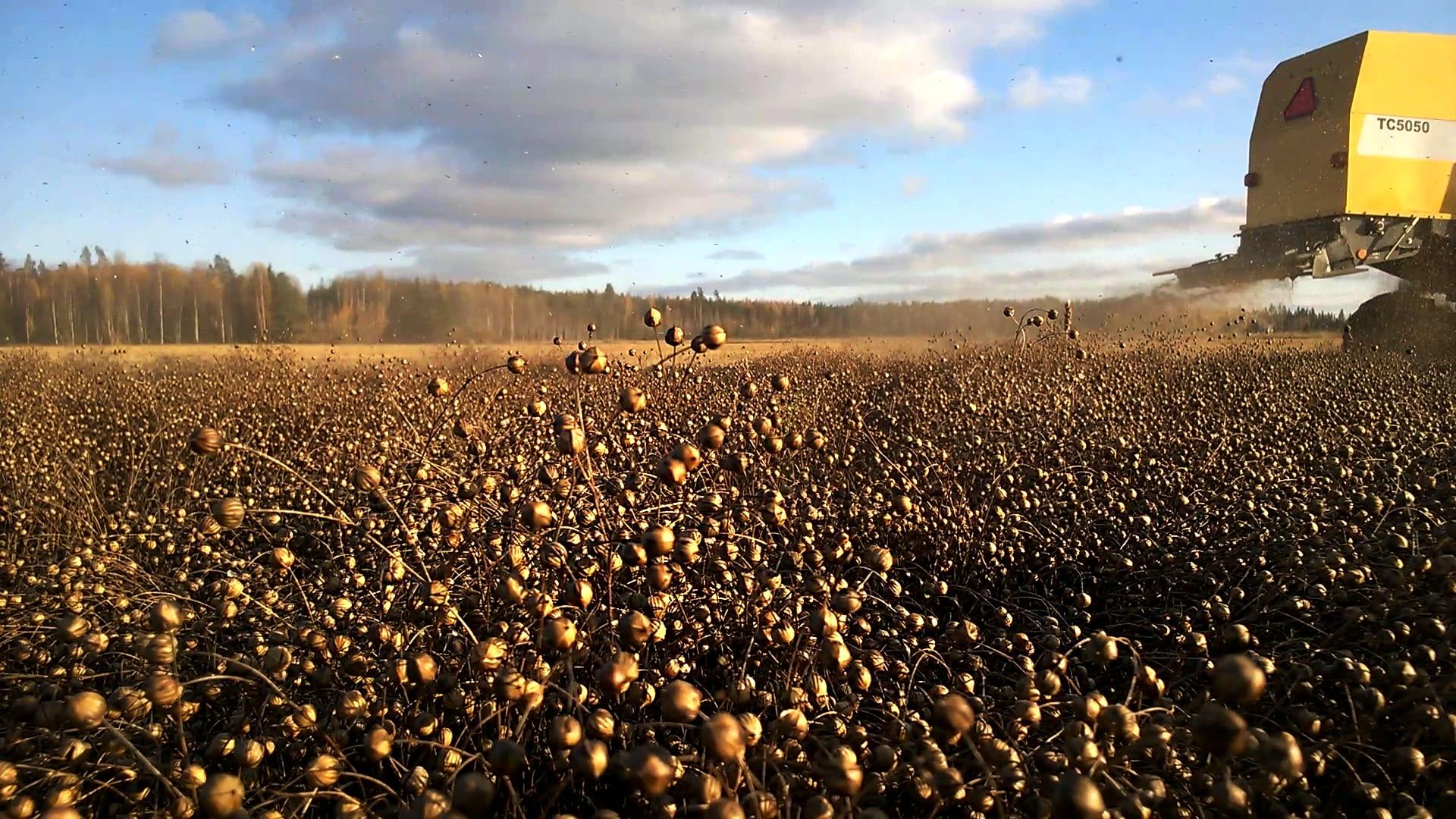 Kotimainen Elixi Pellava viljellään Etelä-Suomessa